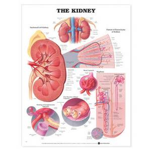 The Kidney Anatomical Chart