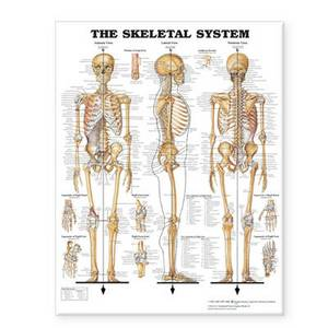 The Skeletal System Giant Chart Laminated: 42  x 62  chart